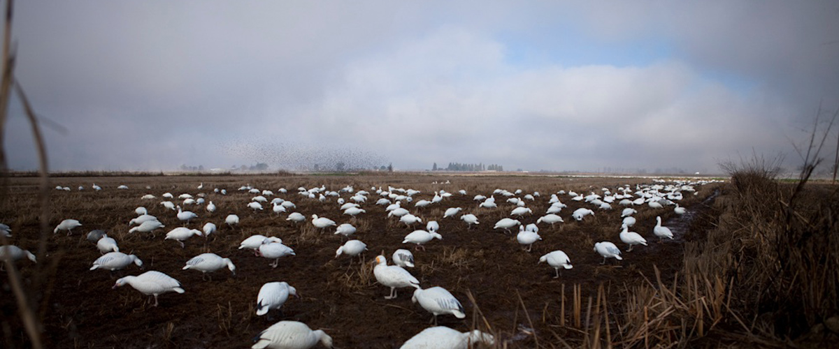 Guided Speck and Snow Goose Hunts in Northern CA.